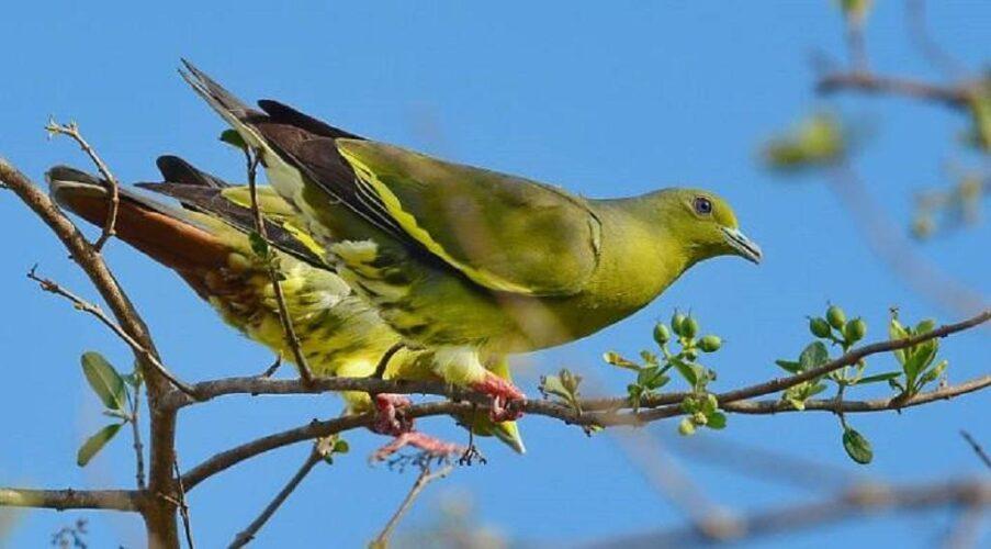 Анекдот о зелёном голубе