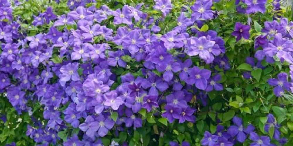 Цветы на балконе - Клематис