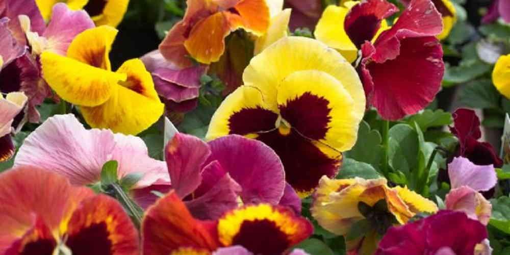 Цветы на балконе - Виола